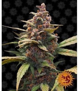 Ayahuasca Purple - Barney`s