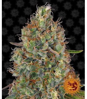 Auto Sweet Tooth - Barney's