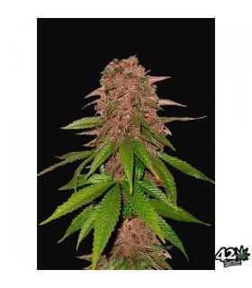 C4 - FastBuds Seeds