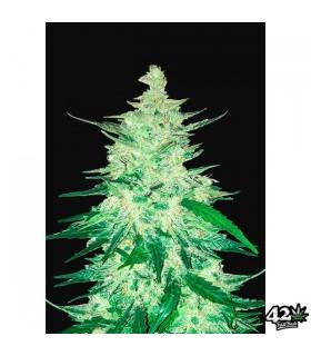 CBD Crack - FastBuds Seeds