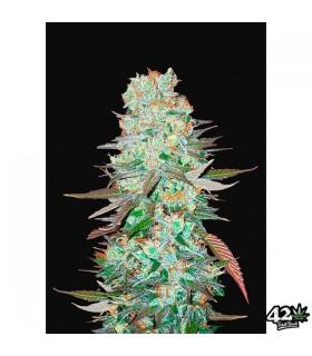 G14 - FastBuds Seeds