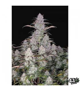 Green Crack - FastBuds Seeds