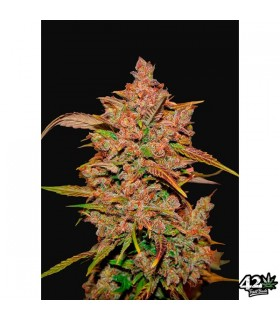 Crystal Meth - FastBuds Seeds