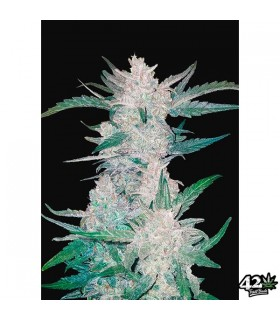 Mexican Airlines - FastBuds Seeds