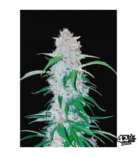 Six Shooter - FastBuds Seeds