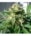 Bubble Bud - Black Skull Seeds.
