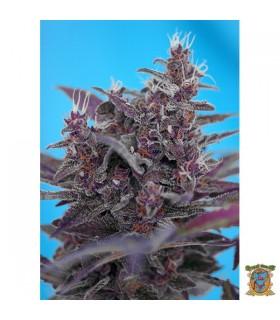 Auto Black Cream - Sweet Seeds - Kayamurcia.es