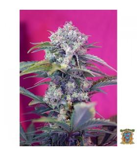 Auto Cream Mandarine - Sweet Seeds - Kayamurcia.es