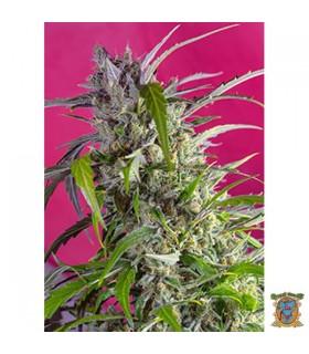 Auto Crystal Candy - Sweet Seeds - Kayamurcia.es
