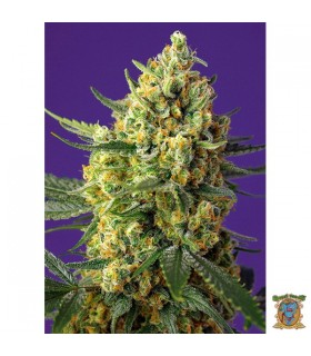 Auto XL Crystal Candy  - Sweet Seeds - Kayamurcia.es