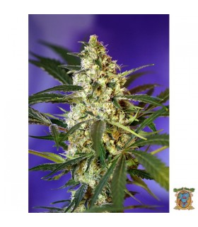 Auto Fast Bud 2 - Sweet Seeds - Kayamurcia.es