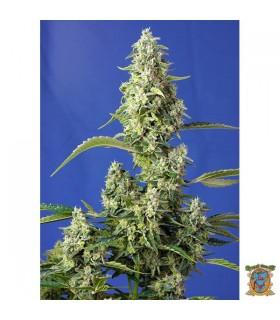 Auto Gorilla Girl XL-Sweet Seeds