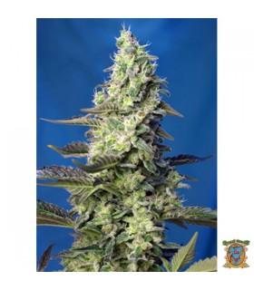 Auto XL Green Poison - Sweet Seeds - Kayamurcia.es