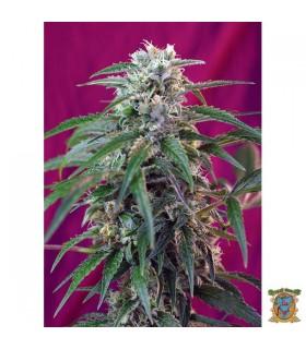Auto Green Poison - Sweet Seeds - Kayamurcia.es