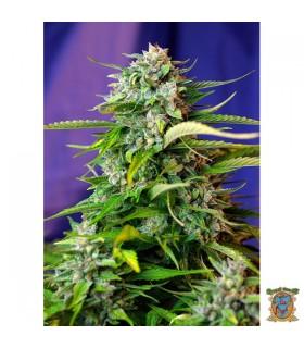 Auto Jack 47-Sweet Seeds