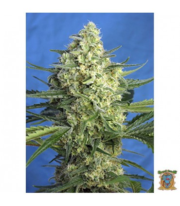 Auto Jack 47 XL-Sweet Seeds