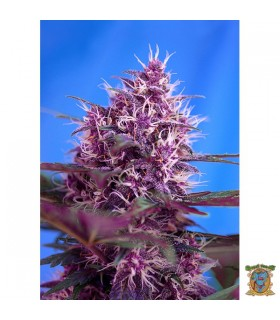 Auto Red Poison - Sweet Seeds - Kayamurcia.es