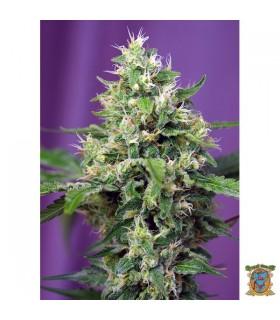 Auto Sweet Amnesia Haze XL-Sweet Seeds