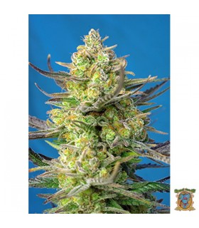 Auto Sweet Cheese XL-Sweet Seeds