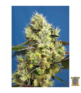 Auto Sweet Gelato-Sweet Seeds