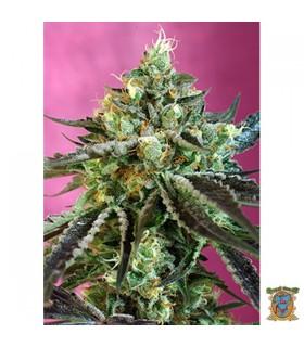 Auto CBD Sweet Nurse - Sweet Seeds - Kayamurcia.es