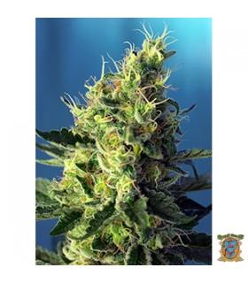 Auto CBD Sweet Pure - Sweet Seeds - Kayamurcia.es