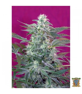 Big Foot - Sweet Seeds.