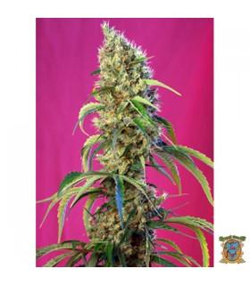 Black Jack CBD - Sweet Seeds - Kayamurcia.es