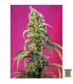 Black Jack CBD - Sweet Seeds.