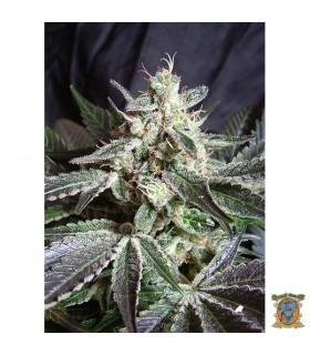 Black Jack - Sweet Seeds - Kayamurcia.es