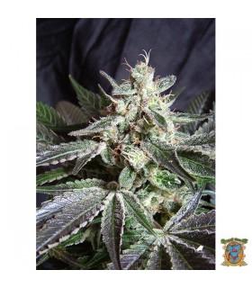 Black Jack Fast Version - Sweet Seeds.
