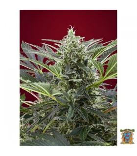 Cream 47 - Sweet Seeds.