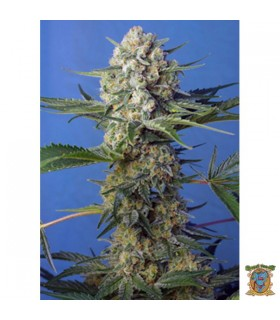 Crystal Candy F1 Fast Version - Sweet Seeds.