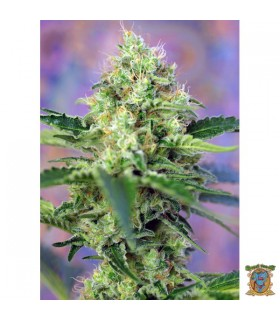 Crystal Candy - Sweet Seeds - Kayamurcia.es