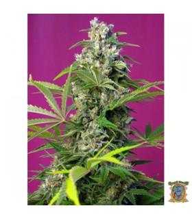 Gorilla Girl - Sweet Seeds - Kayamurcia.es