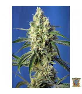 Green Poison CBD - Sweet Seeds.
