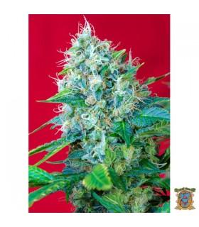 Green Poison - Sweet Seeds - Kayamurcia.es