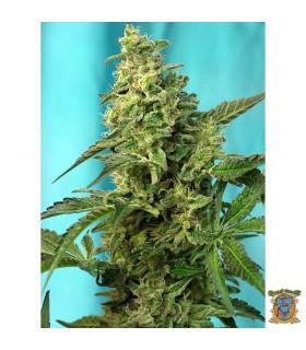 Green Poison Fast Version - Sweet Seeds - Kayamurcia.es