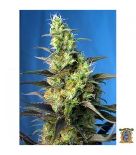 Ice Cool CBD - Sweet Seeds.