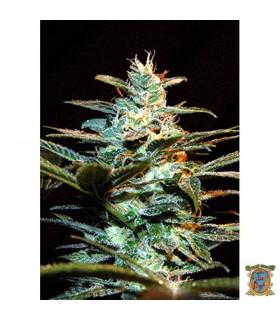 Ice Cool - Sweet seeds - Kayamurcia.es
