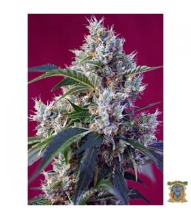 Indigo Berry Kush - Sweet Seeds - Kayamurcia.es