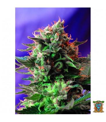 Jack 47 - Sweet Seeds.