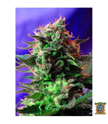Jack 47 Fast Version - Sweet Seeds.