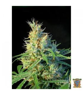 Psicodelicia - Sweet Seeds - Kayamurcia.es