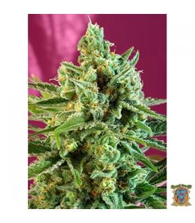 SAD CBD - Sweet Seeds - Kayamurcia.es