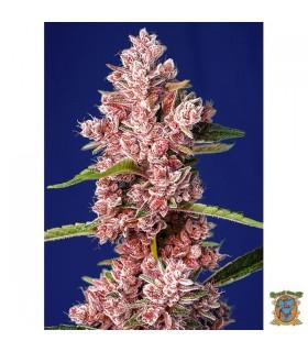 Tropicanna Poison F1 Fast Version - Sweet Seeds - Kayamurcia.es