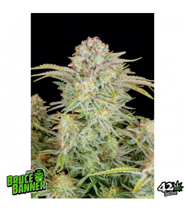 Auto Bruce Banner - Fast Buds.