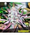Sherbert - Black Skull Seeds.